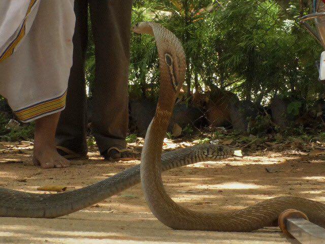 snakes tirumala